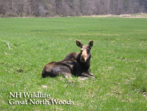 Moose and Wildlife Great North Woods NH Pittsburg Moose Alley New Hampshire