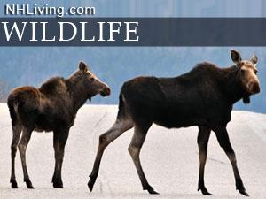 Native NH Wildlife