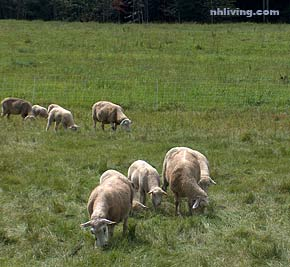 Westmore NH Sheep