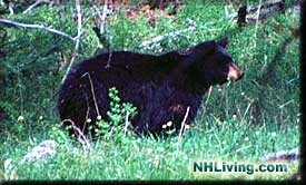 New Hampshire black bear, Bear Photo, Black Bear