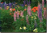 NH Lupines