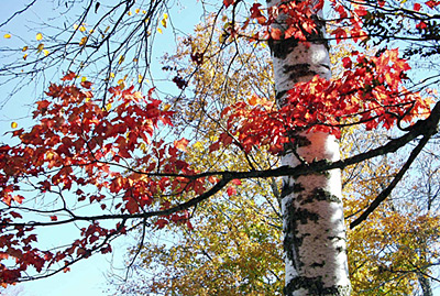 Birch trees in Autumn - NH Living.com