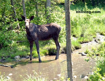 Moose Dixville Notch New Hampshire