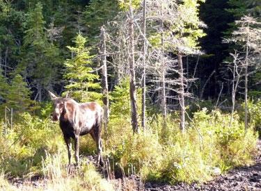 Moose Gorham New Hampshire White Mountains region