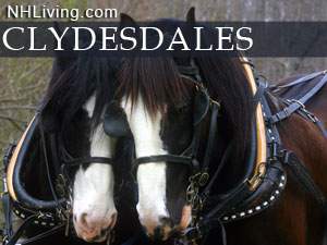 New Hampshire Clydesdales photo shoot