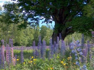 NH Lupine Fest