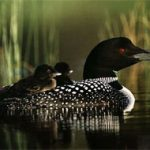 Loon ancient birds