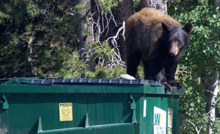 Black Bear on a garbage bin in New Hampshire