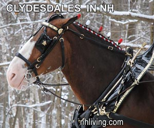 Budweiser Clydesdales Visit NH White Mountains Slide Show